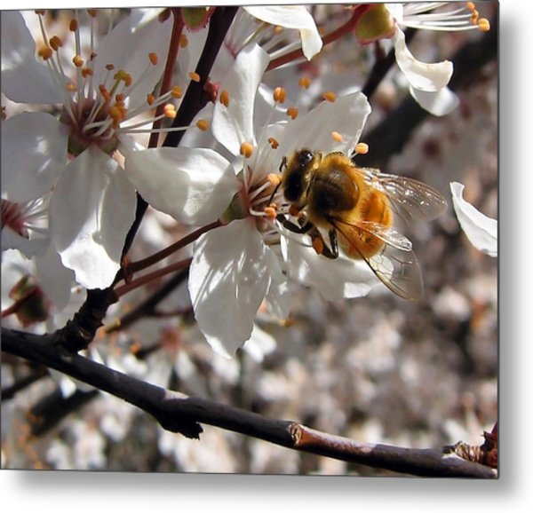 Bumble Bee On A Cherry Blossom Metal Print