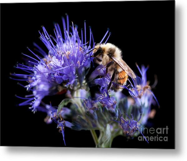 Bumble Bee On Blue Flower Metal Print