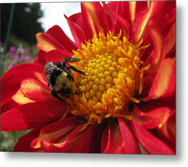 Bumblebee Dahlia 1 Metal Print