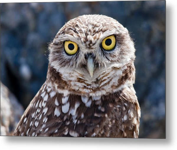 Burrowing Owl Portrait Metal Print