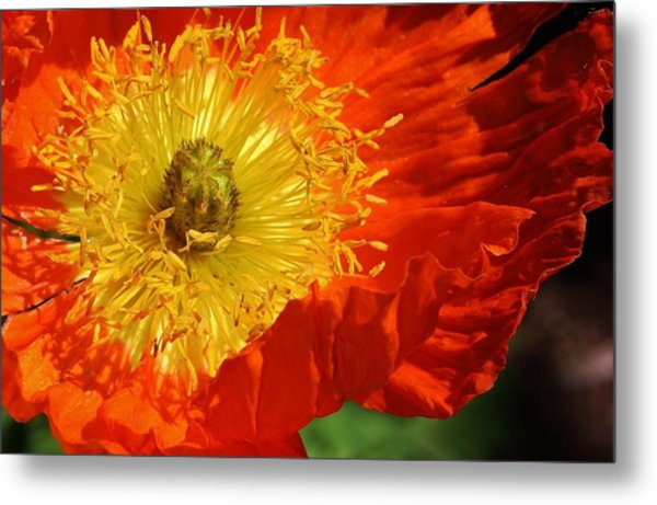 Bursting Peony Metal Print