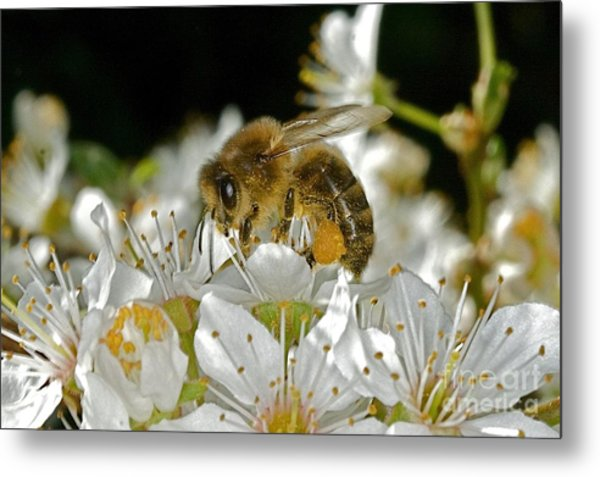 Busy Busy Bee Metal Print