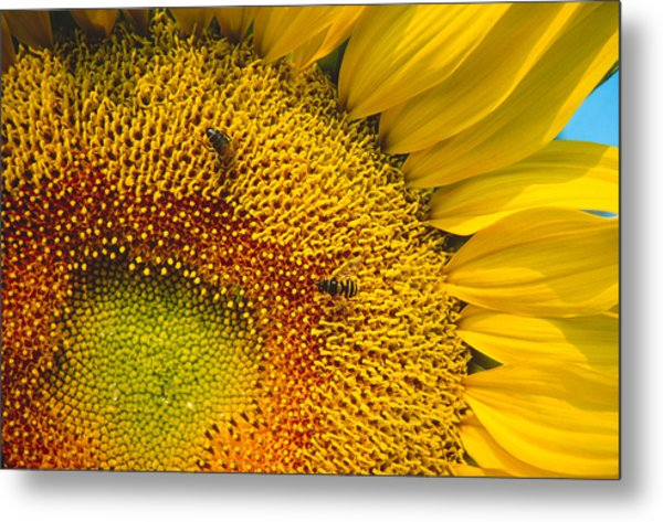 Busy Sunflower Metal Print