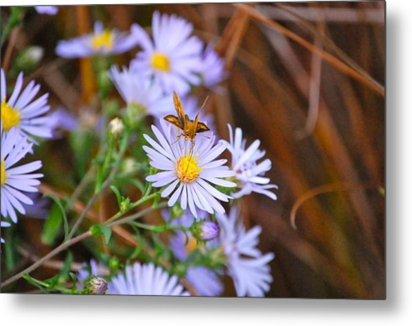 Butterfly And Aster Metal Print