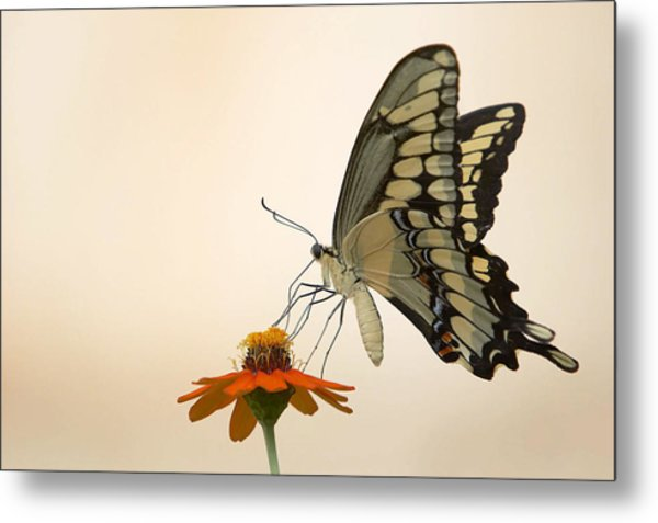 Butterfly And Flower Metal Print