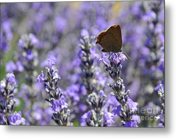 Butterfly Gathering Nectar From Lavender Flowers Metal Print by Sami Sarkis