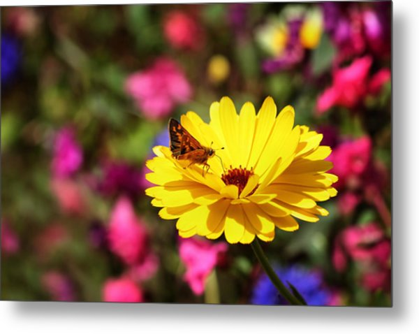 Butterfly Kissing Yellow Wildflower  Metal Print