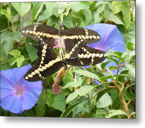 Butterfly Love Metal Print by Claire Plowman
