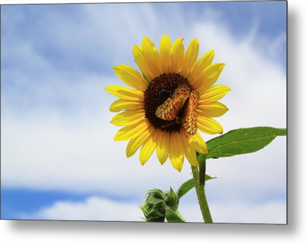 Metal Print featuring the photograph Butterfly On A Sunflower by Shane Bechler