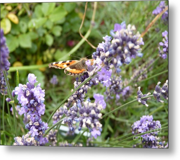 Butterfly On Lavendula Metal Print