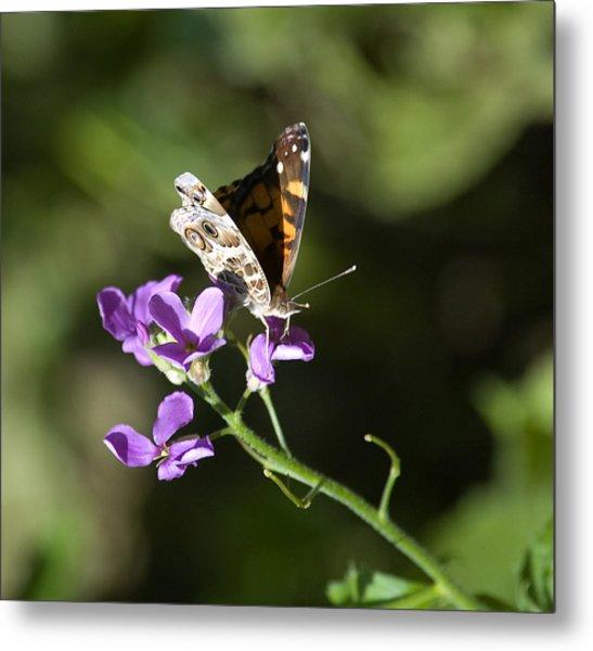 Butterfly On Phlox Bloom Metal Print