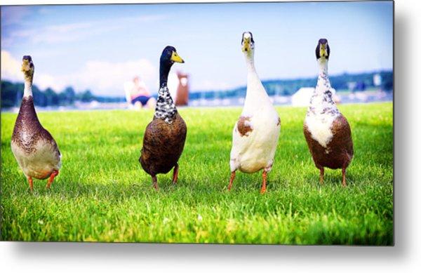 Calico Duck Quartet Metal Print by Vicki Jauron