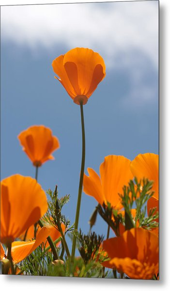 California Poppies Metal Print by Denice Breaux
