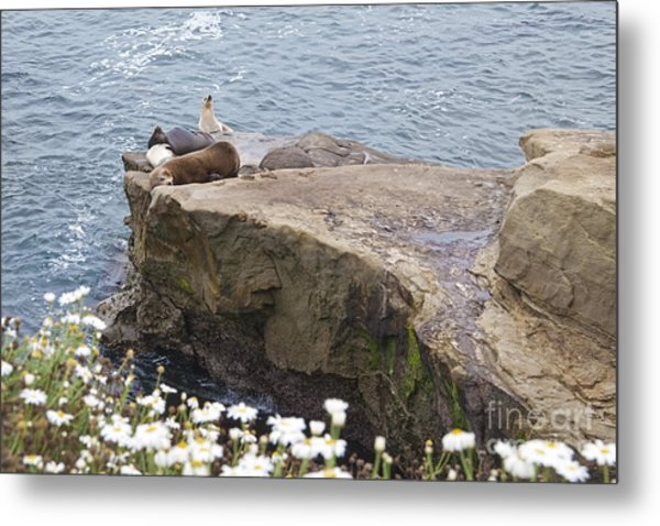 California Sea Lions Zalophus Californianus At La Jolla Shores Metal Print by Sherry  Curry