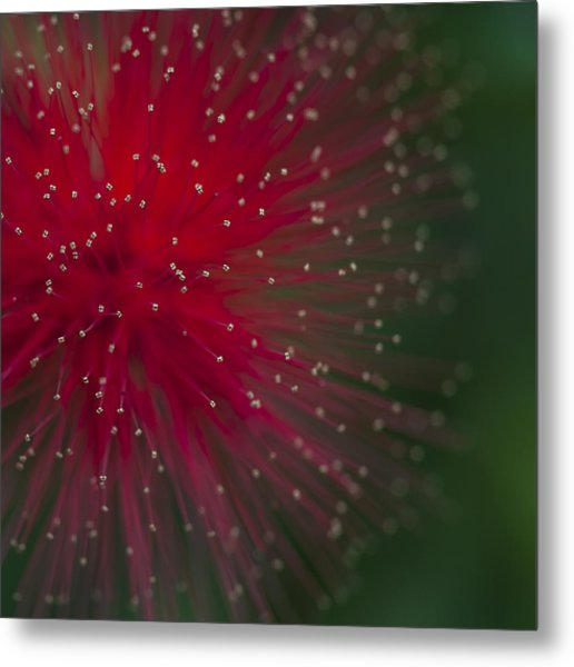 Calliandra II Metal Print