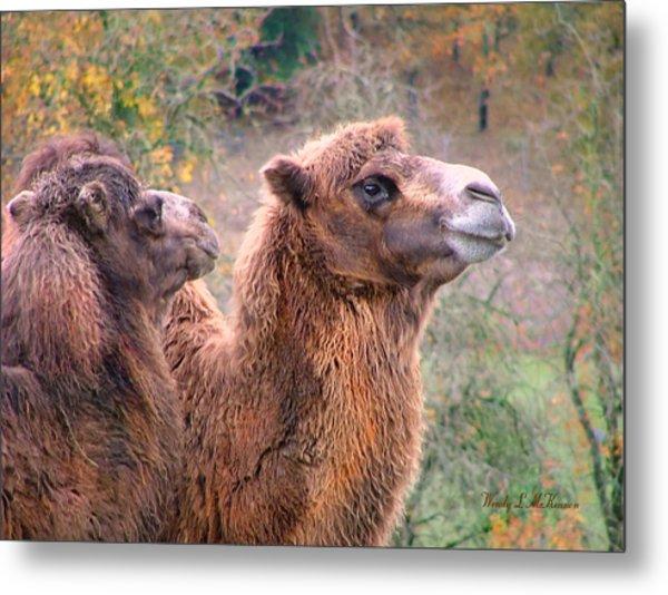 Calm Camels Metal Print