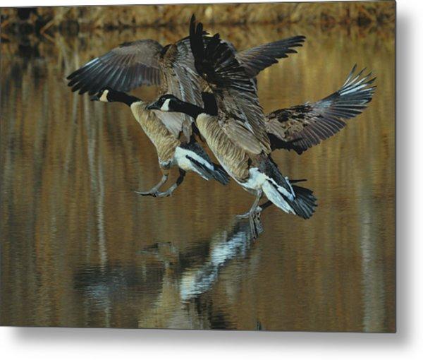 Canada Goose Trio Landing - C0843m Metal Print by Paul Lyndon Phillips
