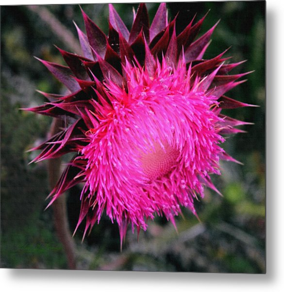 Canada Thistle Metal Print