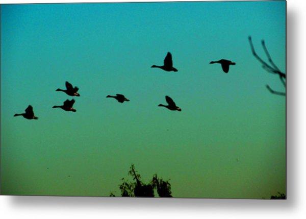 Canadian Geese In Flight Metal Print by David Killian