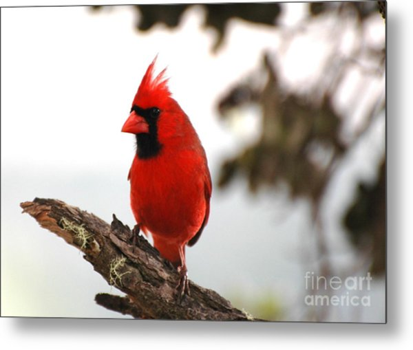 Cardinal In Hawaii Metal Print