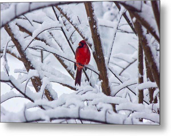 Cardinal In The Snow 2 Metal Print by Barry Jones