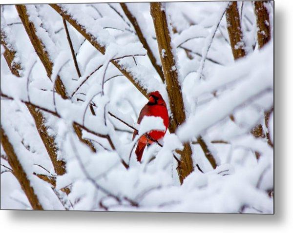 Cardinal In The Snow Metal Print by Barry Jones