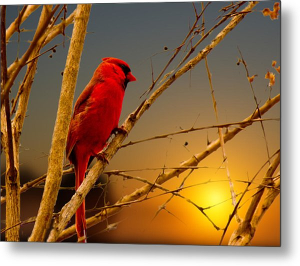 Cardinal Sunrise Metal Print by Barry Jones