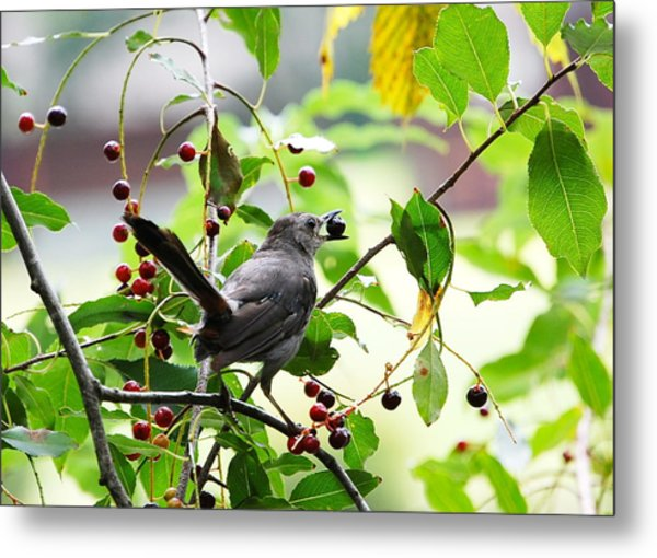Catbird With Berry - Rear View Metal Print