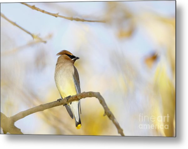 Cedar Waxwing On Yellow And Blue Metal Print