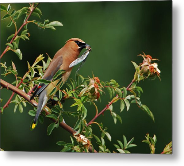 Cedar Waxwing With A Bug Metal Print
