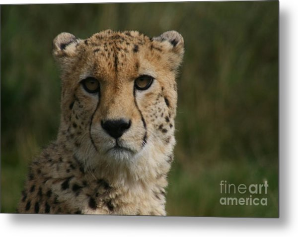 Charlie The Cheeta Metal Print by Carol Wright