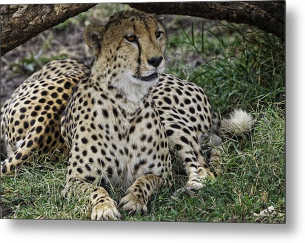 Cheetah Alert Metal Print