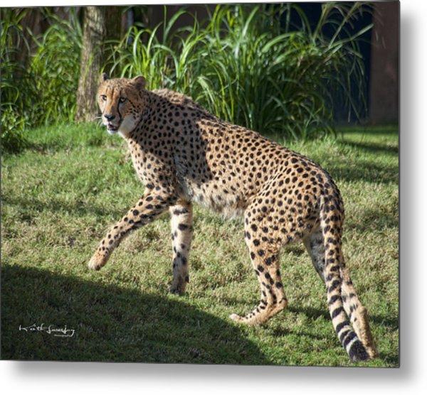 Cheetah Looking Metal Print