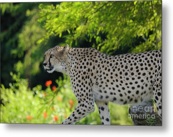 Cheetah Metal Print by Marc Bittan