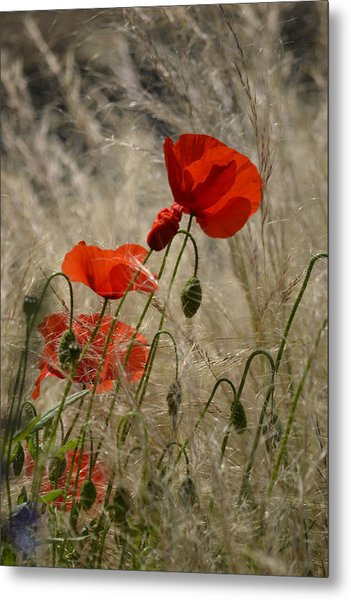 Chelsea Poppies I Metal Print by Dickon Thompson