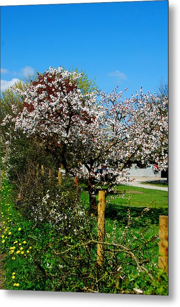 Cherry Blossom Metal Print by Peter Jenkins