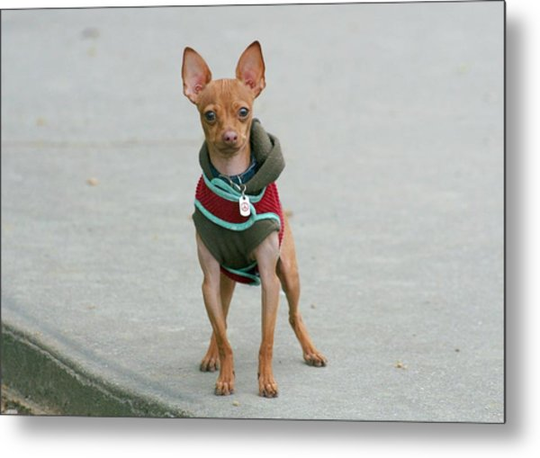 Chihuahua In A Sweater Metal Print by Ritmo Boxer Designs