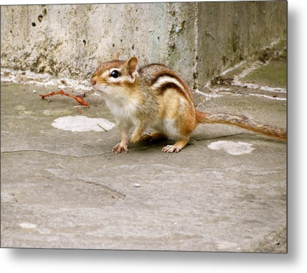 Chipmunk Scurry Metal Print