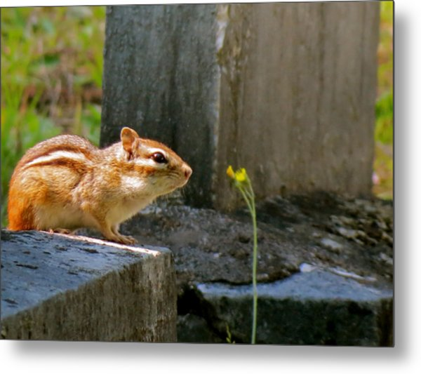 Chipmunk With Flower Metal Print