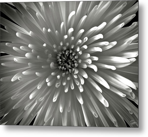 Chrysanthemum In Black And White Metal Print