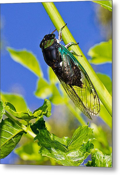 Cicada 002 Metal Print by Barry Jones