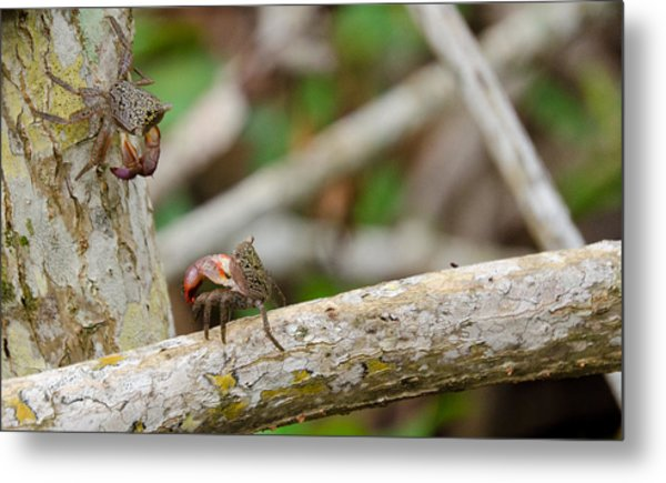Climbing Crabs Metal Print by Mike Rivera
