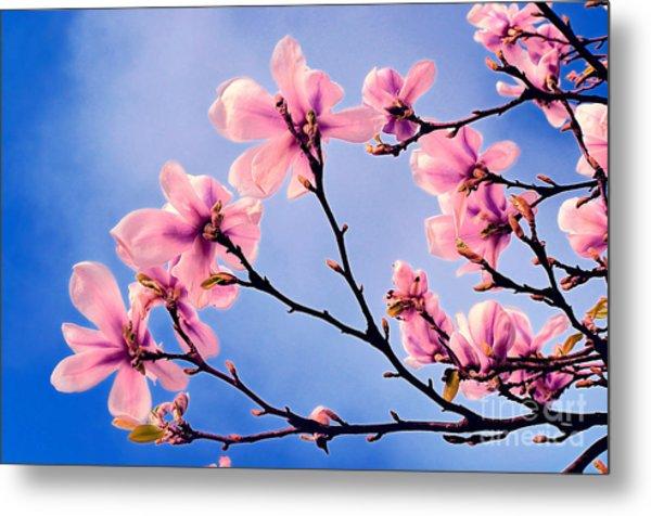 Cherry Blossums Metal Print