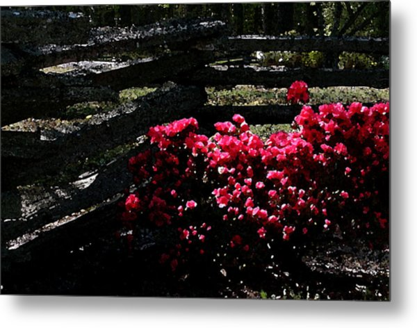 Colorful Azaleas Metal Print