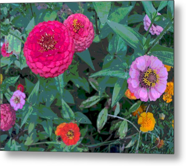 Colorful Zinnia Flowers Metal Print by Padre Art