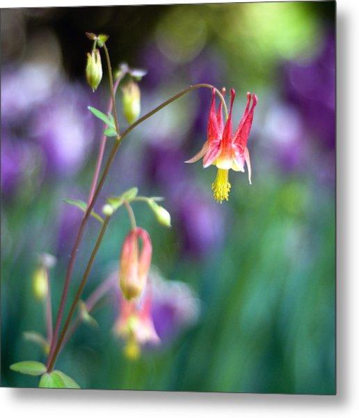 Columbine Flower Metal Print by Laura George