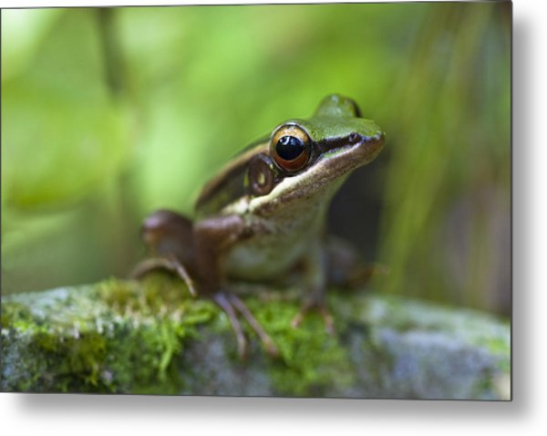 Common Greenback Frog II Metal Print