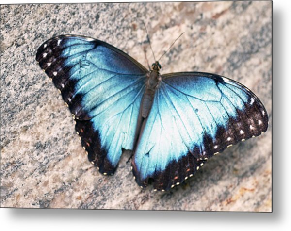 Common Morpho Metal Print by Cheryl Cencich