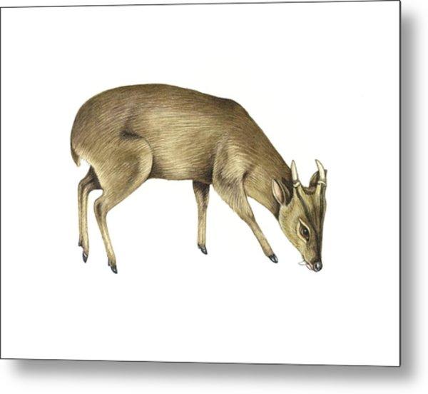 Common Muntjac Deer, Artwork Metal Print by Lizzie Harper