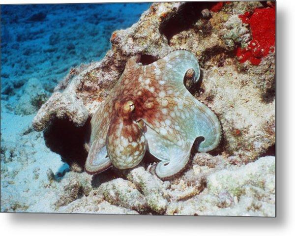 Common Octopus Metal Print by Georgette Douwma